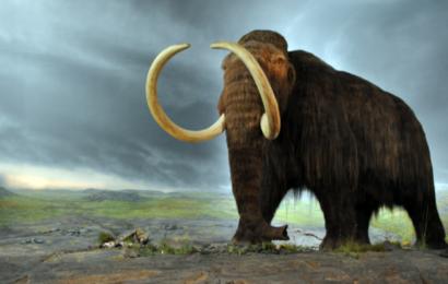 Mammutter kan snart strejfe om i Sibirien: Russiske forskere laver Pleistocene Park