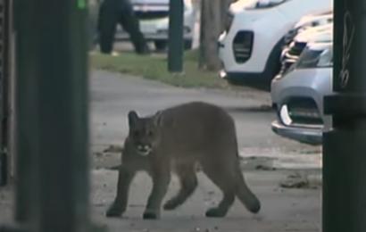 De vilde dyr overtager gaderne under corona og skaber surrealistiske scener