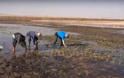 Ny fremavlet ris kan gro i saltvand – det kunne være løsningen på et meget stort problem