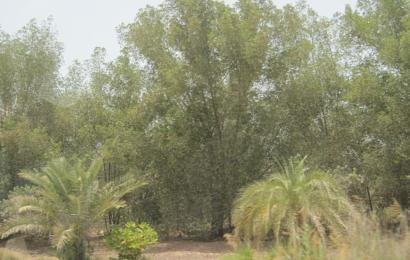 50 milliarder nye træer i Mellemøsten: Verdens største træplantning er nu sat i gang