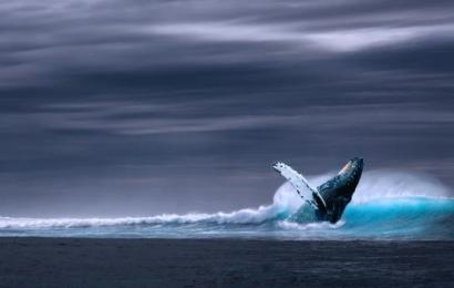 Hvaler kan bremse klimakrisen ifølge IMF – og her er årsagerne